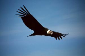 The Andean Condor.